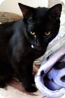 Oriental Kitten for adoption in Cerritos, California - Elijah