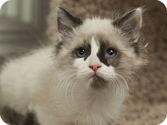 Siamese Kitten for adoption in Great Falls, Montana - Wilbur