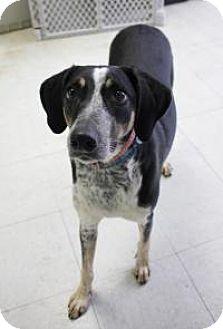 German Shorthaired Pointer/Hound (Unknown Type) Mix Dog for adoption in Yukon, Oklahoma - Mossy Oak