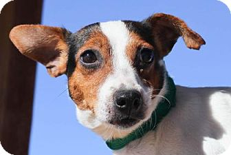 Jack Russell Terrier Dog for adoption in Colorado Springs, Colorado - Yummy