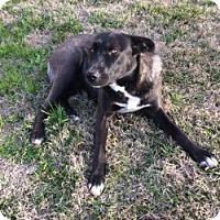 Adopt A Pet :: BELLE - Gustine, CA