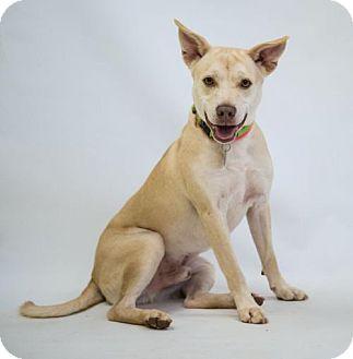 Labrador Retriever/Terrier (Unknown Type, Medium) Mix Dog for adoption in Atlanta, Georgia - Bishop
