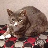 Adopt A Pet :: Beau - Lutherville, MD