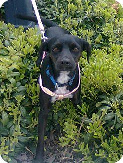 Border Terrier/Chihuahua Mix Puppy for adoption in El Cajon, California - FIONA