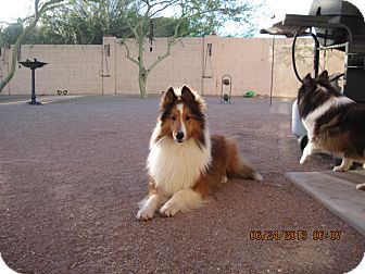 Sheltie, Shetland Sheepdog Dog for adoption in apache junction, Arizona - Stevie Wonder