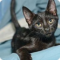 Adopt A Pet :: Sherlock - New York, NY
