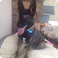 Adopt A Pet :: Zoolander - Oceanside, CA