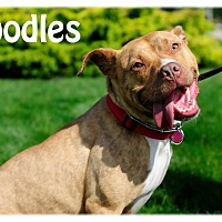 Adopt A Pet :: Oodles - Avon, OH