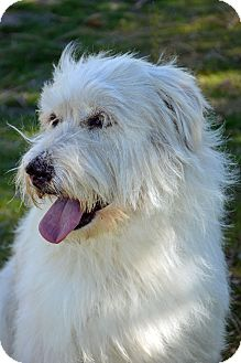 Wheaten Terrier Mix Dog for adoption in Mountain Center, California - Triscuit