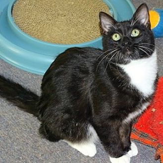Domestic Shorthair Cat for adoption in Mt. Vernon, New York - Flake