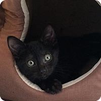 Adopt A Pet :: Black Beauties (Kittens) - Harriman, NY