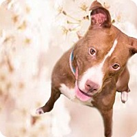 American Pit Bull Terrier Mix Dog for adoption in Palm City, Florida - Molly