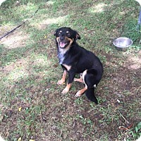 English Shepherd Dog for adoption in Columbia, Tennessee - Buddy/TN