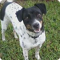 Adopt A Pet :: Dottie in Houston - Austin, TX