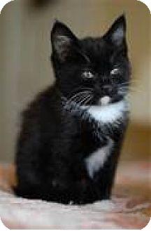 Domestic Shorthair Kitten for adoption in Whitestone, New York - SPOT