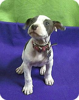 Terrier (Unknown Type, Medium) Mix Puppy for adoption in Detroit, Michigan - Jenny-Adopted!
