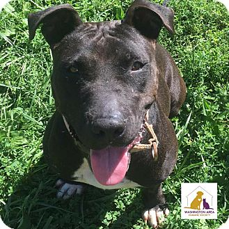 American Staffordshire Terrier Mix Dog for adoption in Eighty Four, Pennsylvania - Sweetie