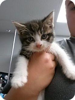 Domestic Shorthair Kitten for adoption in Paducah, Kentucky - Bliss