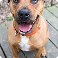 Adopt A Pet :: Briles - Seattle, WA