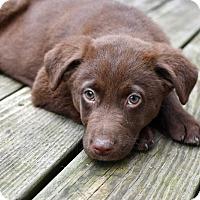 Adopt A Pet :: Cocoa - Mt. Prospect, IL