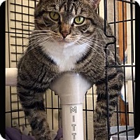 Adopt A Pet :: Mittens - Hartford City, IN