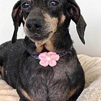 Adopt A Pet :: Da-Hui - Weston, FL