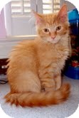 Domestic Mediumhair Kitten for adoption in Arlington, Virginia - Sage