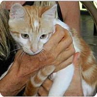 Adopt A Pet :: Little Red - Makawao, HI