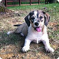 Adopt A Pet :: Bashful - Owensboro, KY