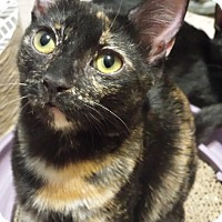 Domestic Shorthair Kitten for adoption in Chandler, Arizona - Butterfly