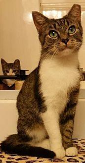 Domestic Shorthair Cat for adoption in Carlisle, Pennsylvania - DanikaMcPurr