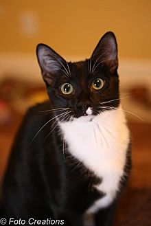 Domestic Shorthair Cat for adoption in Olive Branch, Mississippi - Peter (Nelson Foster)