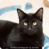 Adopt A Pet :: Felix II - Fountain Hills, AZ