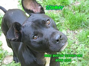 Boston Terrier/Labrador Retriever Mix Dog for adoption in Huddleston, Virginia - Sammy