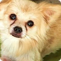 Adopt A Pet :: Calvin - adoption pendig - Stamford, CT