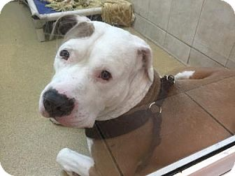 American Bulldog Mix Dog for adoption in Miami, Florida - Hennie
