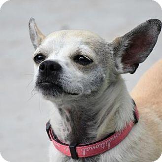 Chihuahua Mix Dog for adoption in Denver, Colorado - Slim Jim