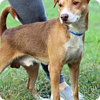 Adopt A Pet :: Shorty - Waldorf, MD