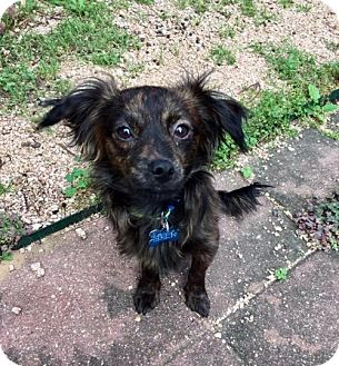 Papillon/Dachshund Mix Dog for adoption in Houston, Texas - Tennyson