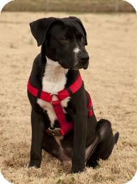Retriever (Unknown Type)/Hound (Unknown Type) Mix Puppy for adoption in Wilmington, Massachusetts - Happy