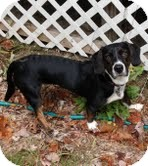 Labrador Retriever Mix Puppy for adoption in Windham, New Hampshire - Ruby Mae (In New England)