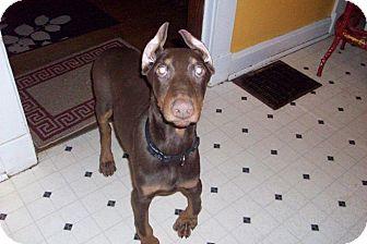 Doberman Pinscher Puppy for adoption in New Richmond, Ohio - Dexter--adopted!