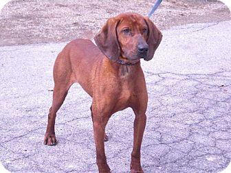 "Redbone Coonhound Dog for adoption in New Castle, Pennsylvania - "" Blaze """