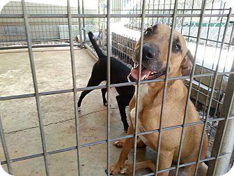 Bull Terrier Mix Dog for adoption in San Antonio, Texas - Louie