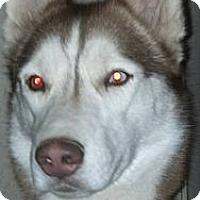 Adopt A Pet :: Sonja - Gilbert, AZ