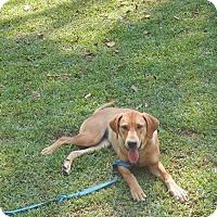 Adopt A Pet :: Lady - Leesburg, VA