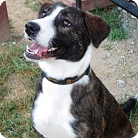 Adopt A Pet :: Laurel - Foster Needed - kennebunkport, ME