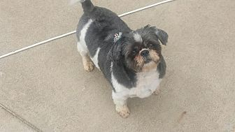 Shih Tzu Mix Dog for adoption in Huntley, Illinois - Sissi