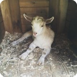 Goat for adoption in Maple Valley, Washington - Turbo
