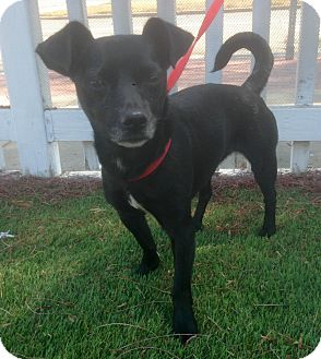 Patterdale Terrier (Fell Terrier)/Rat Terrier Mix Dog for adoption in Santa Ana, California - Gemma (BH)